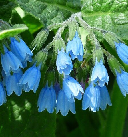 Blue flowering comfrey Best Organic Fertiliser To Help Your Garden Grow