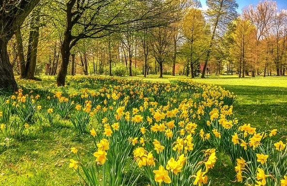 How to plant spring flower bulbs. Swathes of daffodils naturalised under trees.