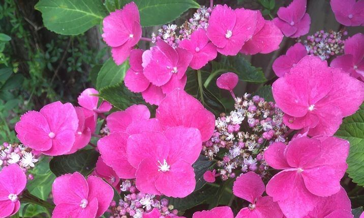 Lace-cap Hydrangea, Late Summer flowering shrubs