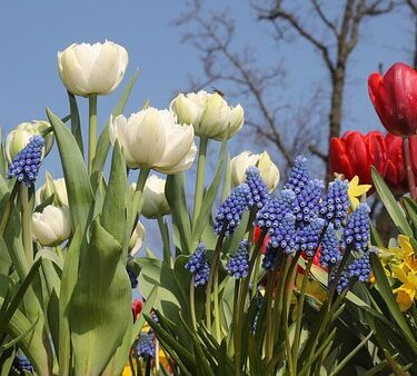 How To Plant Spring Flower Bulbs.Tulips and muscari, how to plant spring flower bulbs