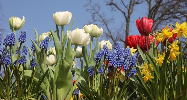 Tulips and muscari, how to plant spring flower bulbs