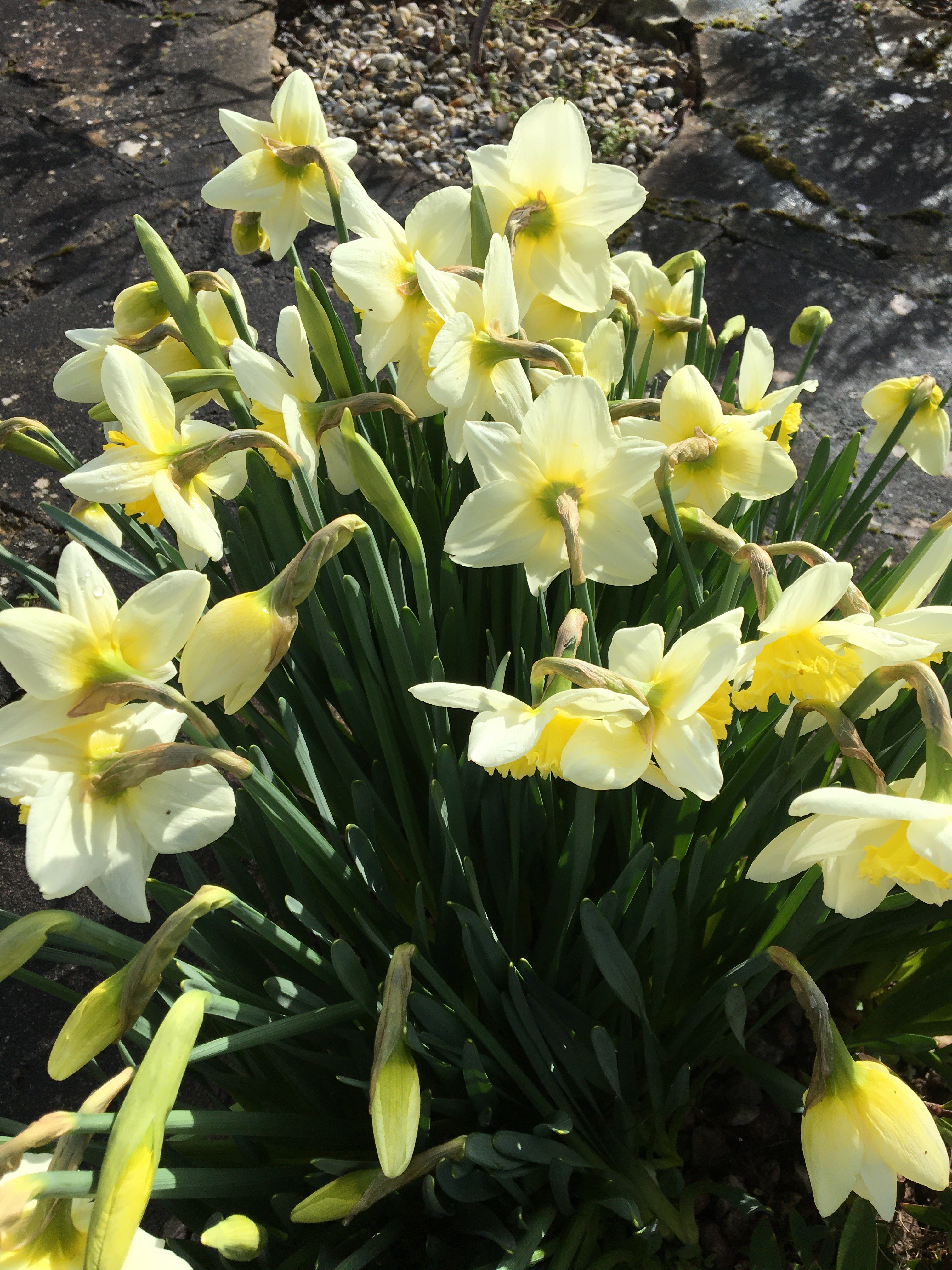 How to plant spring flower bulbs. Lemon yellow daffodil. How to Plant Spring Flower Bulbs