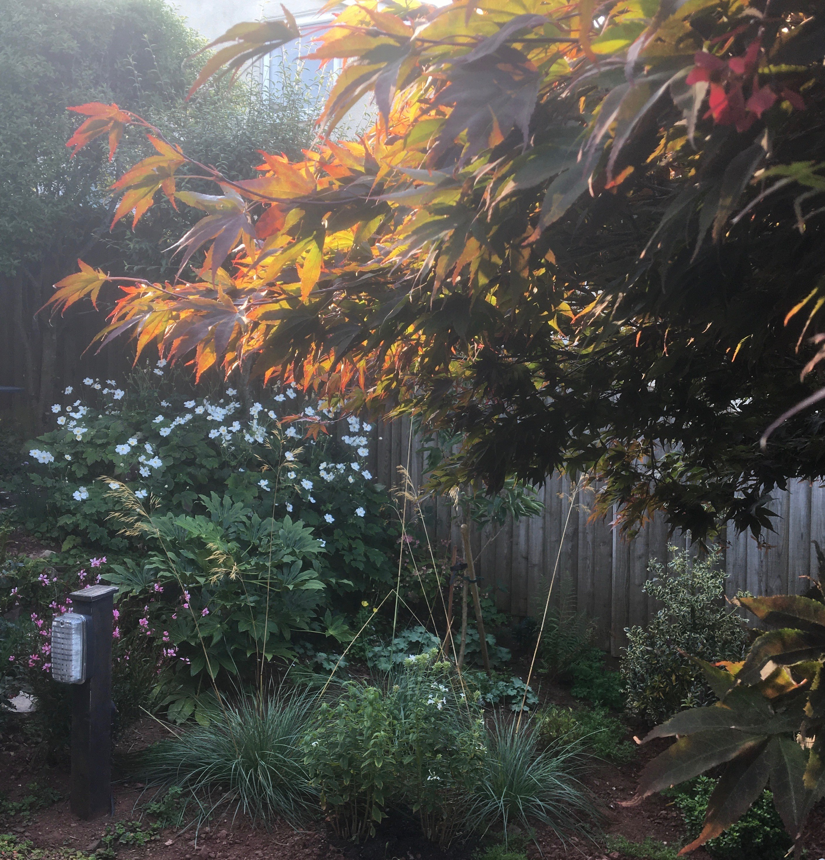 Acer tree with filtered sunlight. Gardening for better health and wellbeing