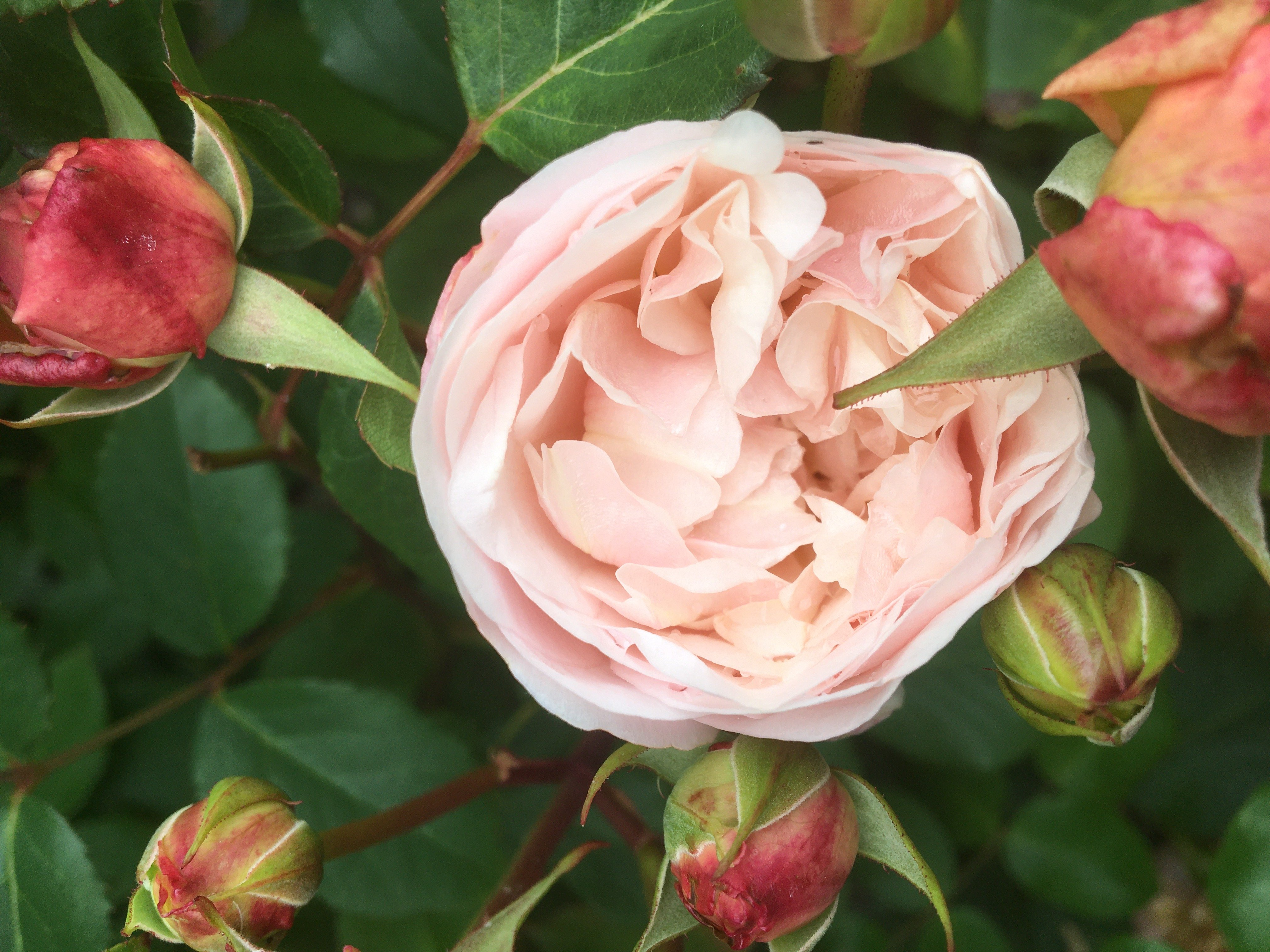 Pale Peach Rose. Do Plants Increase Happiness?