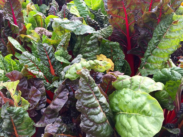 Rainbow Swiss Chard. Fantastic Foliage Plants For Your Garden