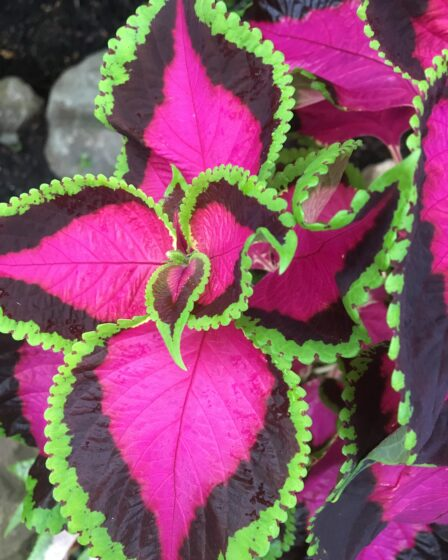 Fuchsia pink and lime green Coleus leaves. Fantastic Foliage Plants For Your Garden