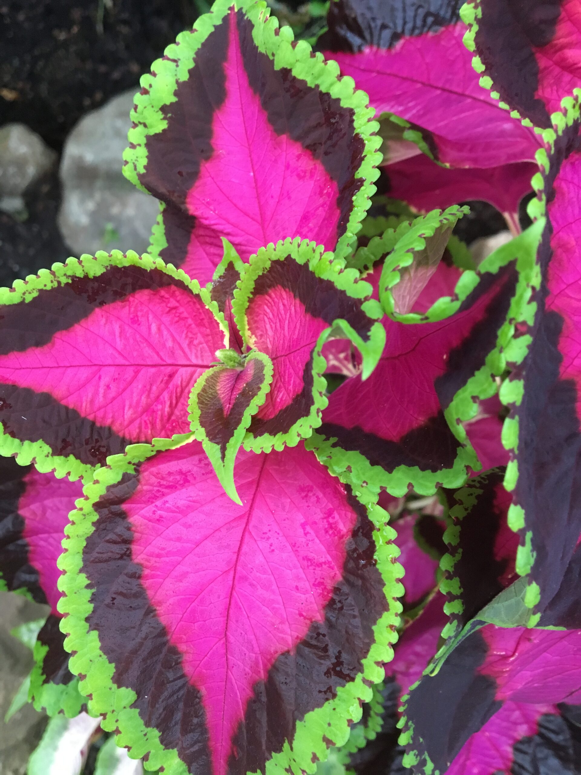Fantastic Foliage Plants. Fuchsia pink and lime green Coleus leaves. Fantastic Foliage Plants For Your Garden