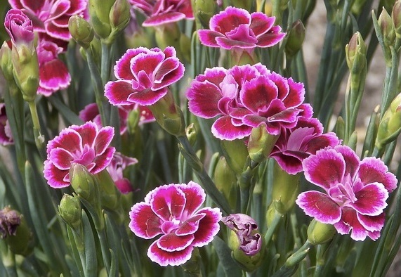 Best Night Scented Plants For A Scent Garden Dianthus