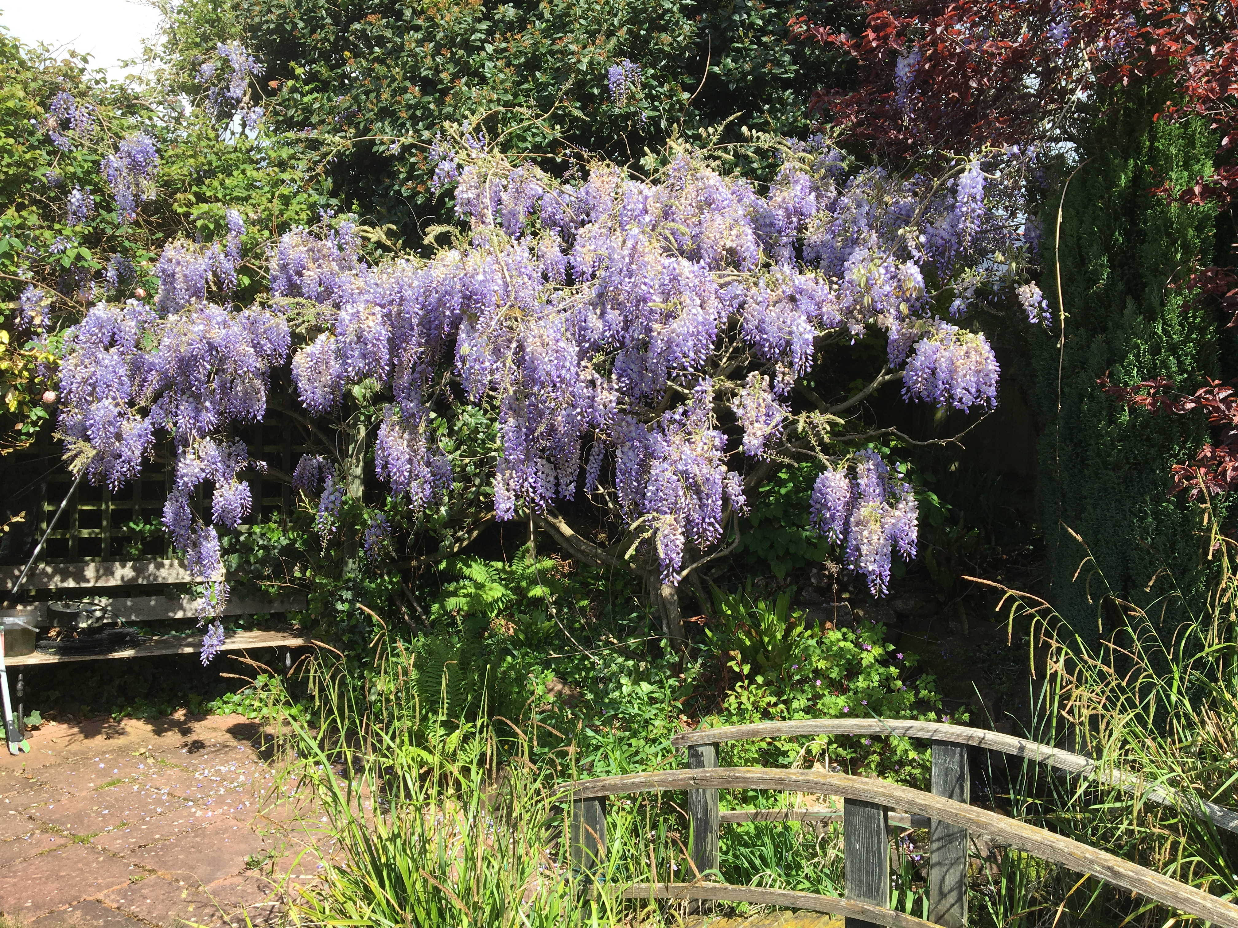 Best Night Scented Plants Wisteria