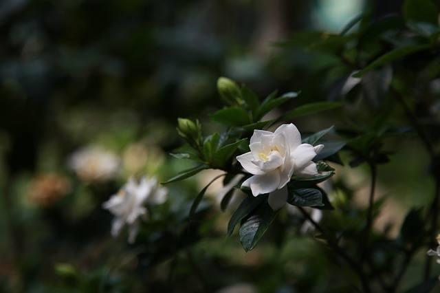 Night Scented Plants Gardenia