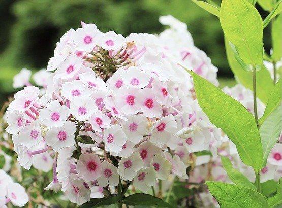 Best Night Scented Plants Summer Phlox