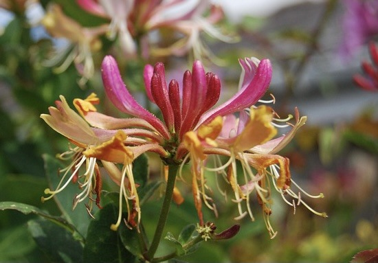 Best Night Scented Plants For A Scent Garden Honeysuckle