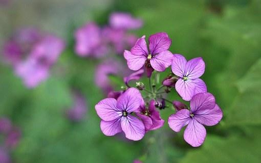 Best Night Scented Plants Hesparis
