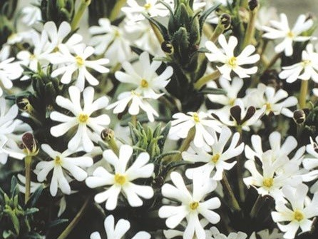 Best Night Scented Plants For A Scent Garden Night Scented Phlox
