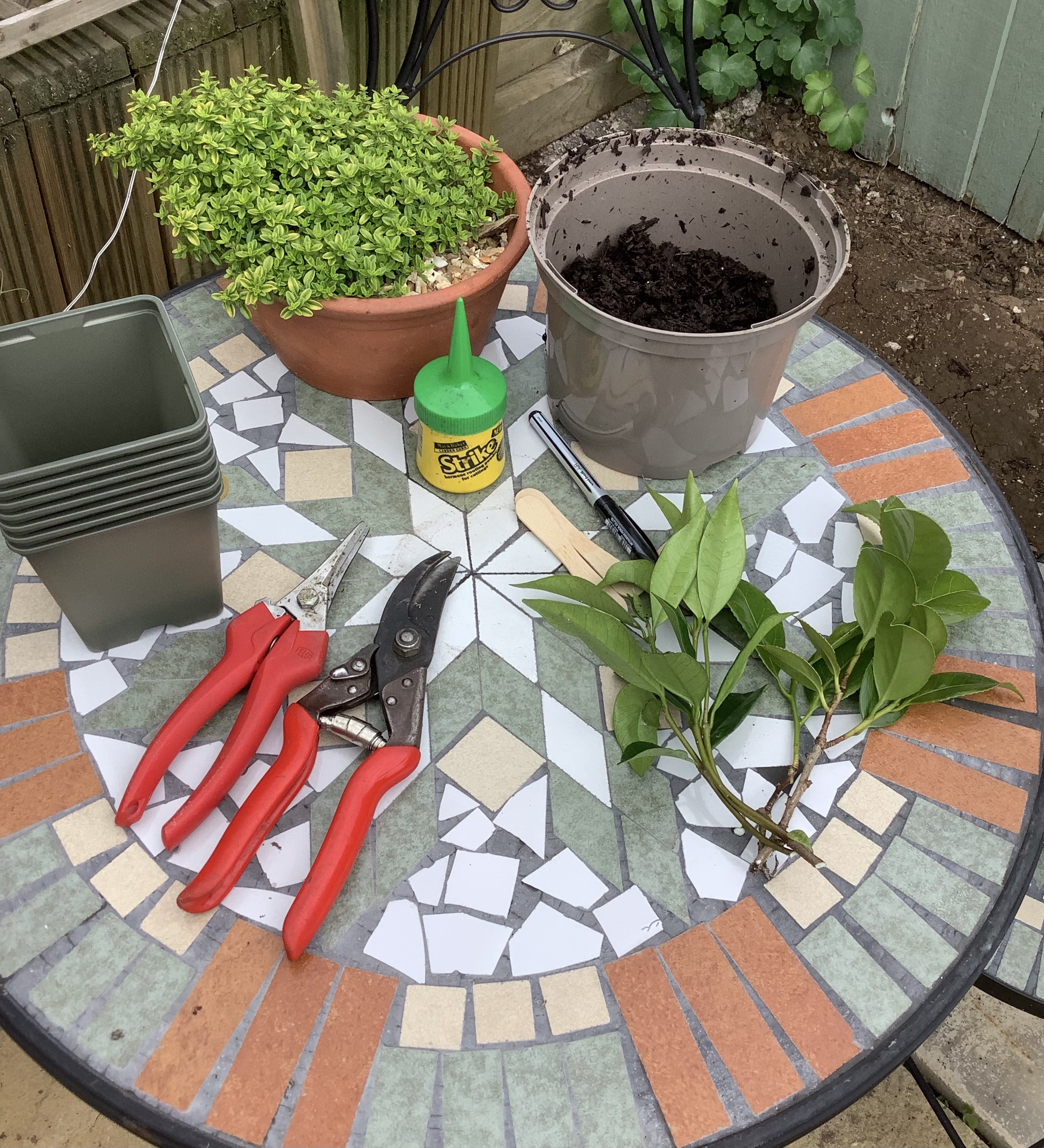 Softwood Cuttings Technique 6 Easy Steps