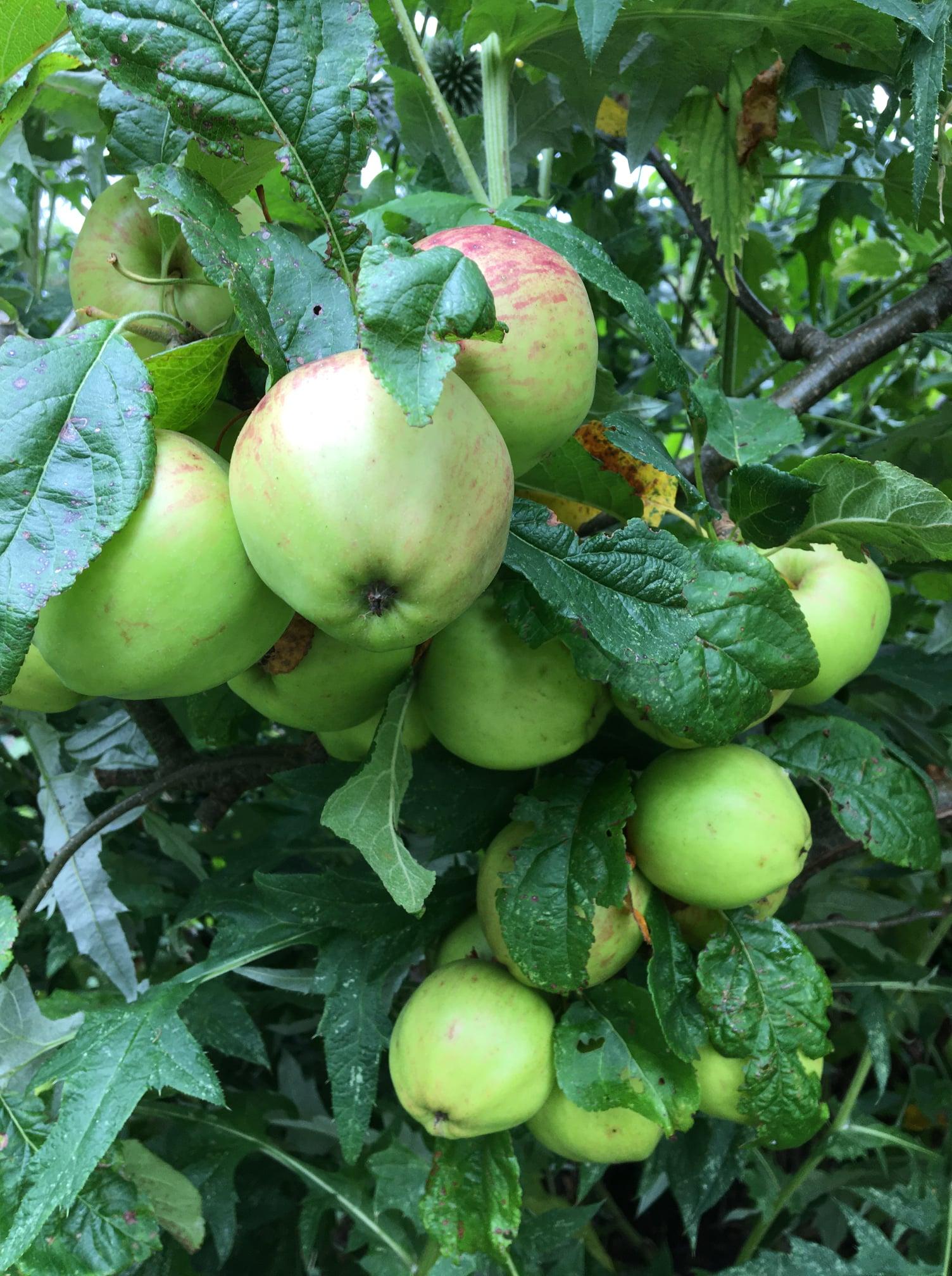 Best Plants For Growing In Chalky Soil Apple tree